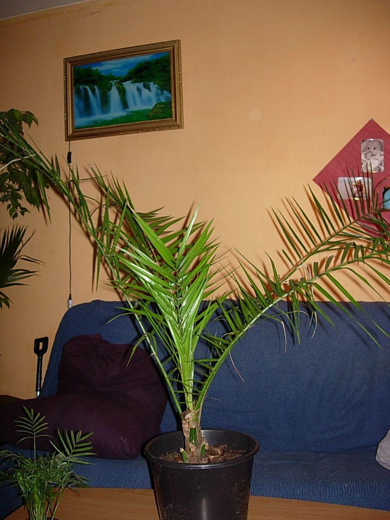 Petit deviendra grand blog tropic - Entretien d un palmier d interieur ...